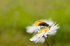Mosca en la flor de la margarita Imágenes de archivo libres de regalías