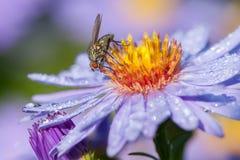 Mosca en la flor del aster Fotos de archivo