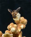 Mosca en las flores del níspero Imagen de archivo