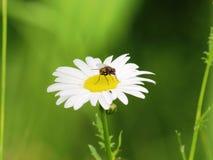 Mosca en una flor Imagen de archivo libre de regalías