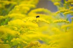 Mosca en una flor amarilla Imagen de archivo libre de regalías