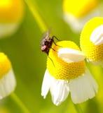 Mosca en una flor de la manzanilla, macro Imagen de archivo libre de regalías
