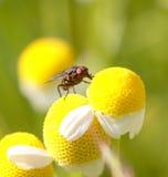 Mosca en una flor de la manzanilla, macro Fotos de archivo