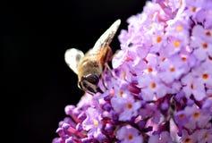 Mosca en una floración de la lila Foto de archivo libre de regalías