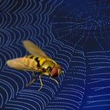 Mosca en Web de araña Imagenes de archivo