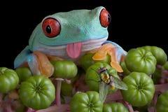 Mosca eyeing de la rana de árbol Fotos de archivo libres de regalías