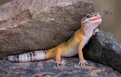 Mosca eyeing del Gecko Fotografía de archivo libre de regalías