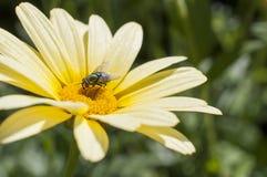 Mosca in fiore giallo Immagini Stock Libere da Diritti