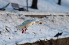Mosca genetica di colore di mutazione di inverno mutante raro bianco del germano reale dell'anatra selvatica immagini stock libere da diritti
