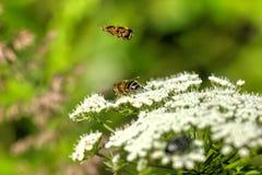 mosca il giorno di fioritura sistema l'estate rurale di sally del fiore del fireweed Immagini Stock Libere da Diritti