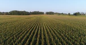 Mosca lateral sobre do campo de milho video estoque