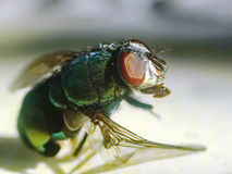 mosca Macro Fotografia Stock