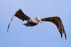 A mosca marrom do pelicano sobre Imagem de Stock Royalty Free
