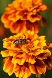 Mosca na flor alaranjada imagens de stock royalty free