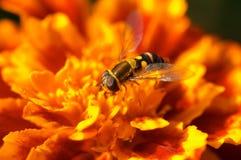 Mosca na flor alaranjada foto de stock royalty free