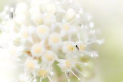 Mosca negra en las flores blancas Fotografía de archivo