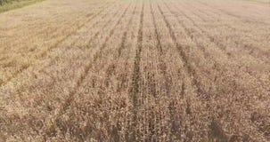 Mosca Oblast, Russia Giacimenti di grano sulla cima La macchina fotografica cade da una grande destra di altezza sul campo, finch stock footage