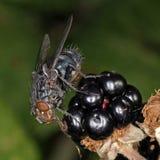 Mosca que alimenta em um arbusto de amora-preta Fotos de Stock