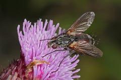 mosca que alimenta em uma cabeça de flor do cardo Fotografia de Stock Royalty Free