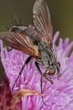 mosca que alimenta em uma cabeça de flor do cardo Fotos de Stock