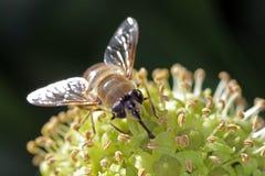 Mosca que alimenta em uma flor da hera Fotografia de Stock