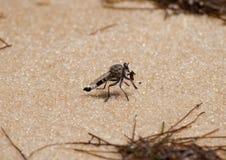 Mosca que come la mosca Fotografía de archivo