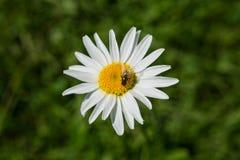 Mosca que poliniza la flor salvaje Imagenes de archivo