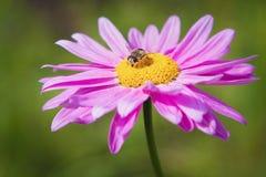 Mosca que se sienta en una flor Foto de archivo