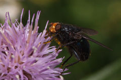 A mosca que senta-se em um cigano bonito aumentou Foto de Stock Royalty Free