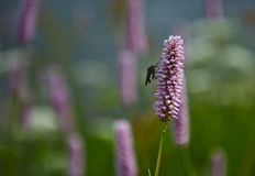 Mosca que senta-se em uma flor do lila [Officinalis de Bistorta] foto de stock