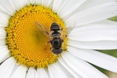 Mosca rayada Syrphidae - hoverfly recogida del néctar de manzanilla en el jardín Foto de archivo