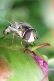 Mosca rayada Syrphidae - hoverfly recogida del néctar de peonía en el jardín Fotografía de archivo libre de regalías