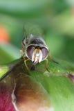 Mosca rayada Syrphidae - hoverfly recogida del néctar de peonía en el jardín Imágenes de archivo libres de regalías