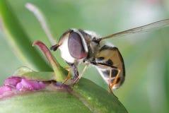 Mosca rayada Syrphidae - hoverfly recogida del néctar de peonía en el jardín Imagen de archivo