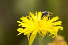 A mosca recolhe o néctar Fotos de Stock Royalty Free