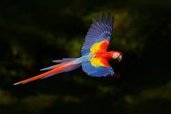 Mosca roja del loro en la vegetación verde oscuro Macaw del escarlata, Ara Macao, en bosque tropical, Costa Rica, escena de la fa imagen de archivo