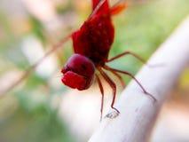 Mosca rossa del drago Immagine Stock