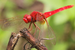 Mosca rossa del drago Fotografia Stock