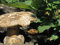 Mosca sentada para baixo em um cogumelo Fotografia de Stock