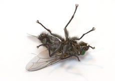 Mosca soñolienta (macro del insecto) Fotos de archivo libres de regalías