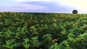 Mosca sobre o campo bonito do girassol em Ucrânia filme