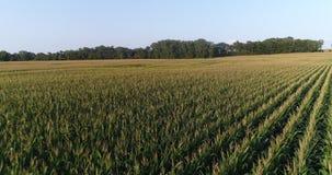 Mosca sobre o campo de milho video estoque
