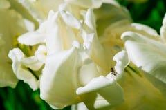 Mosca sui tulipani bianchi Immagini Stock Libere da Diritti