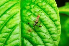 mosca Tallo-observada, colonia de la leche de Aarey, la INDIA fotografía de archivo