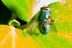 Mosca ultra macro Fotos de Stock Royalty Free