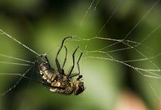 Mosca in una presa del ragno. Fotografie Stock