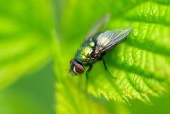 A mosca verde Imagens de Stock