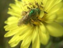 Mosca verde da garrafa que poliniza Texas Dandelion amarelo foto de stock royalty free