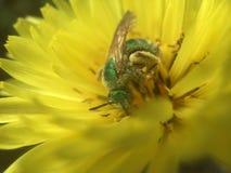 Mosca verde da garrafa que poliniza Texas Dandelion amarelo imagens de stock