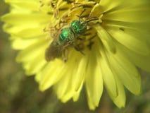 Mosca verde da garrafa que poliniza Texas Dandelion amarelo imagem de stock royalty free